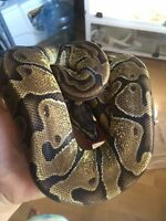 Female Enchi Ball Python