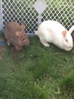 3 Bunny rabbits for sale