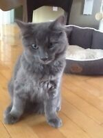 selling kitten mix russian blue cat