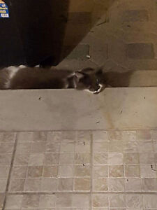Lost cat in pierrefond West Island Greater Montréal image 1