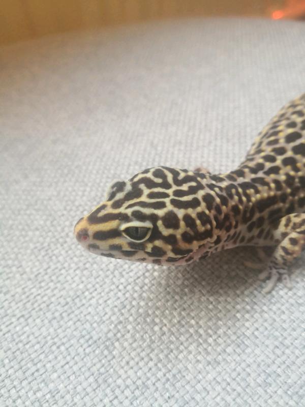Leopard Gecko In Petersfield Hampshire Gumtree