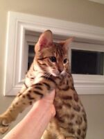 Bengal female one year old .