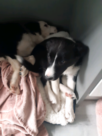 Female Border collie 4 months old