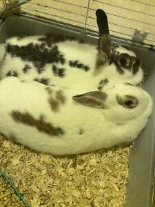 $40 dollars for pair of bonded rabbits