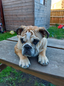 Bulldog 7 month old ****Sold*****