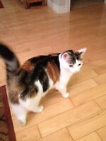 Nice Calico Cat to give away