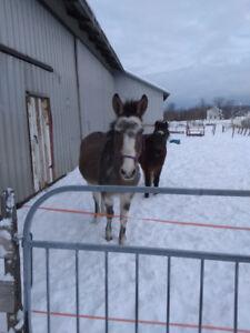 Échange mule contre poney