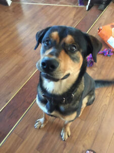 Rottweiler Shepherd Mix Looking for new home