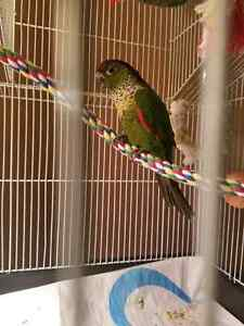Black capped conure