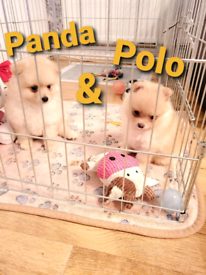 Pomeranian puppies * BOTH ARE NOW RESERVED *