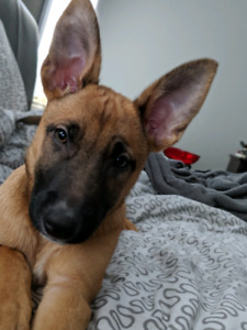 11 week puppy. Micro-chipped, first shots.complete file