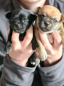 Chihuahuas only 2 boys left