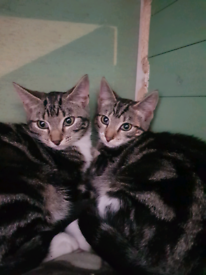4 tabby and 4 black kittens for sale