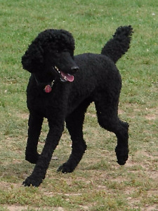 TWO standard poodle pups, solid back, all males - REDUCED
