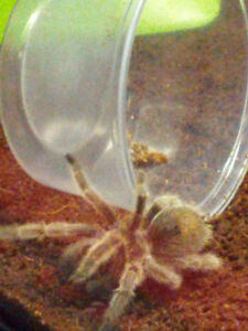 2 rosey haired tarantulas for sale