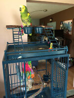 For sale Male Blue Fronted Amazon Parrot and cage.