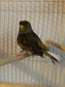 Gloster Canary à vendre