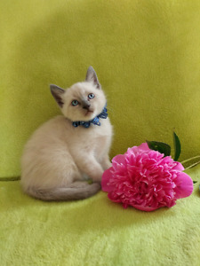 ⭐ Enchanting Purebred Siamese Kittens ⭐