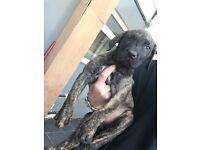 Presa canario pups for sale