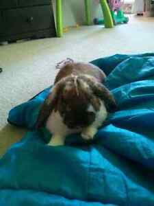 Holland lop rabbit for sale London Ontario image 3