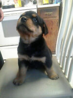 Rottweiler Puppies For Sale Just in time for Christmas!!!