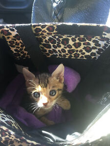 Male Bengal kitten to trade for Female Bengal (or for sale)