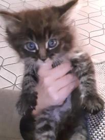 Half ragdoll silver & chocolate kittens