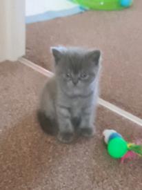 British shorthair kitten for sale