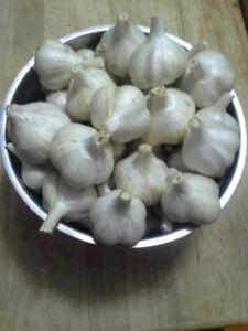 Garlic, $12/pound, organically grown, while supplies last