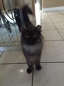 Persian cat available for adoption