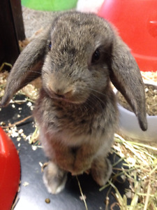 Holland Lop Rabbit to good home