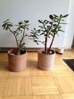Jade Bonsai plants for sale $5+