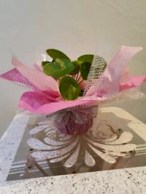 Chinese money plant gift