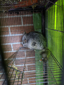 Two Chinchillas For Adoption -  Cage and All Necessities Incl.