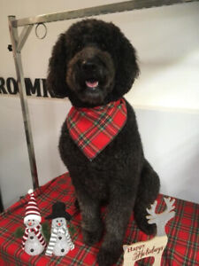 Beautiful Standard Labradoodle Puppy - Last One