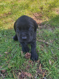 Male Labrador pups for sale Kc reg, black puppies, full breed Labs