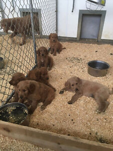 Golden Retriever & Golden Doodle Puppies available