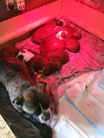Old tyme bulldog puppies