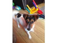 6 months old jack Russell