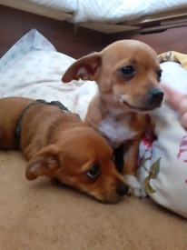 Chihuahua in County Durham   Dogs & Puppies for Sale - Gumtree