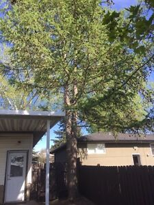 Looking to have Larch tree removed - arborist