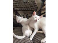 Pure white kitten for sale