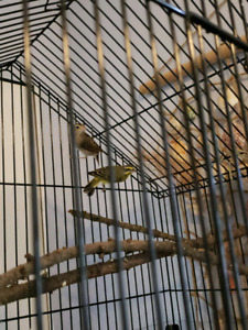 breeding pair of finches