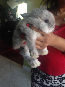 Giving away lionshead lop eared bunny!!