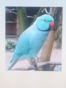 Tame and Talking Blue Male ringneck.