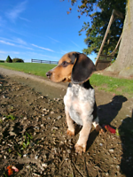 MALE PUREBRED BEAGLE PUP - Vet Checked, Vaccinated, Puppy Kit