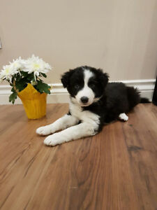 Gorgeous Border Collie Puppies
