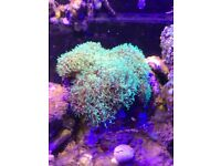 Green star polyps coral colony