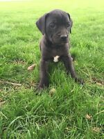 Great Dane x puppy