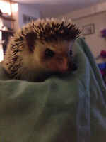 2 year old male hedgehog